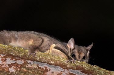 Squirrel glider clinging to tree mammal,possum,Australia,Australian,tree life,arboreal,canopy,glide,glider,sugar glider,flying mammal,night time,dark,black,ears,claws,paws,feet,toes,nails,climbing,climber,tiny,shy,scared,fur,furry,Sq