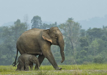 Mother elephant and calf journeying across the grassland elephant,mother elephant,calf,elephant calf,grassland,walking,mothering,parent,female elephant,cute,endangered,nepal,india,mother,baby,Asian elephant,Elephas maximus,Mammalia,Mammals,Elephants,Elephan