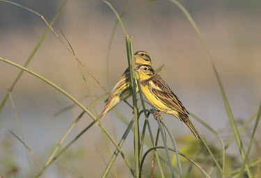 Two yellow breasted bunting among the grass bird,bunting,yellow breasted bunting,yellow breast,birdlife,grass,wetland,endangered,india,birds,perching,perched,Yellow-breasted bunting,Emberiza aureola,Aves,Birds,Chordates,Chordata,Perching Birds,