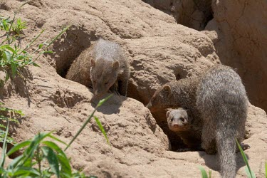 Banded mongoose family emerge from their den Tanzania,banded mongoose,Mungos mungo,carnivore,three,3 next,mongoose,mongooses,Banded mongoose,Herpestidae,Mongooses, Meerkat,Carnivores,Carnivora,Chordates,Chordata,Mammalia,Mammals,Least Concern,An