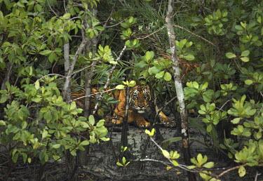 Bengal tiger hides among mangroves tiger,bengal tiger,big cat,endangered,eyes,piercing,hiding,resting,watching,mangroves,mangrove forest,sundarban,sundarbans,india,bengal,mud,big cats,Bengal tiger,Panthera tigris tigris,Mammalia,Mammal