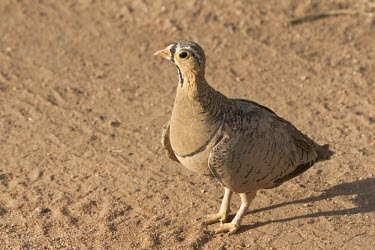 The inquisitive look of a black-faced sandgrouse Tanzania,black-faced sandgrouse,sandgrouse,Pterocles decoratus,Animalia,Chordata,Aves,Pterocliformes,Pteroclidae,sand,brown,camouflage,adult,bird,birds,Black-faced sandgrouse
