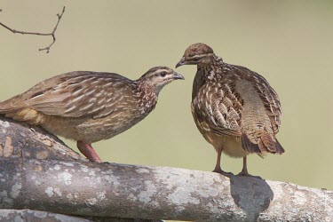 Two crested francolin perched on a tree branch Tanzania,crested francolin,Francolinus sephaena,Dendroperdix sephaena,Animalia,Chordata,Aves,Galliformes,Phasianidae,two,2,pair,branch,rear,side,profile,perched,perching,Crested francolin