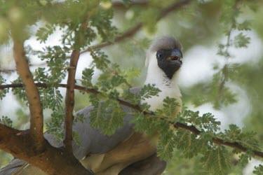 Black-faced go-away-bird caws in the trees Tanzania,bare-faced go-away-bird,Corythaixoides personata leopoldi,Corythaixoides leopoldi,black-faced go-away-bird,Animalia,Chordata,Aves,Musophagiformes,Musophagidae,bird,birds,go-away-bird,go-away-