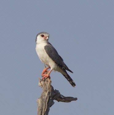 Pygmy falcon surveys the land from a tree stump Tanzania,Polihierax semitorquatus,pygmy falcon,falcon,falcons,bird,birds,birds of prey,bird of prey,portrait,adult,perched,negative space,Pygmy falcon,Falcons, Caracaras,Falconidae,Falconiformes,Hawks