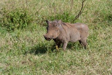 Warthog foraging in the grassland Tanzania,Phacochoerus africanus,warthog,Animalia,Chordata,Mammalia,Cetartiodactyla,Suidae,warthogs,single,one,grass,Warthog,Mammals,Chordates,Hogs and Pigs,Even-toed Ungulates,Artiodactyla,Phacochoeru