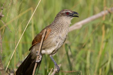 White-browed coucal perched among the grass showing its beady red eye Tanzania,Centropus s. superciliosus,white-browed coucal,Burchell's coucal,Centropus superciliosus,Animalia,Chordata,Aves,Cuculiformes,Cuculidae,cuckoo family,cuckoo,profile,portrait,close up,close-up,