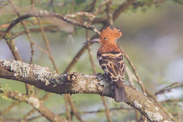 Eurasian hoopoe perched on a lichen covered branch Tanzania,Upupa epops,Eurasian hoopoe,hoopoe,hoopoes,rear view,branch,rear,habitat,profile,shallow focus,feathers,perching,perched,Upupiformes,Upupidae,Hoopoe,Aves,Birds,Coraciiformes,Rollers Kingfishe