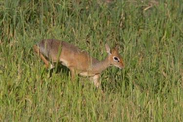 A Kirk's dikdik cautiously moves through the long grass Tanzania,Kirk's dikdik,Madoqua kirkii,Animalia,Chordata,Mammalia,Cetartiodactyla,Bovidae,dikdik,dikdiks,herbivore,walking,grass