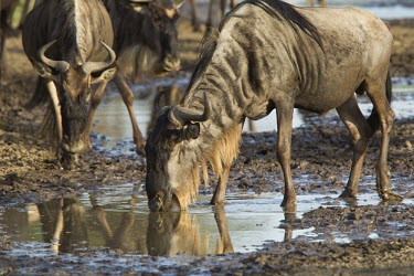 Wildebeest drinking from sparse muddy puddles Tanzania,wildebeest,Connochaetes taurinus,gnoe,antelope,antelopes,mammal,mammals,gnu,mud,puddle,drinking,drink,Blue wildebeest,Mammalia,Mammals,Even-toed Ungulates,Artiodactyla,Bovidae,Bison, Cattle,