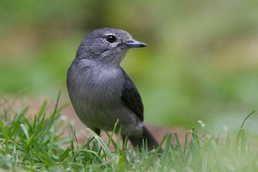 An ashy flycatcher stands bold against the grass ashy flycatcher,Muscicapa caerulescens,Tanzania,ashy alseonax,grey,bird,birds,close up,close-up,portrait,profile,shallow focus,negative space,copy space,Animalia,Chordata,Aves,Passeriformes,Muscicapid