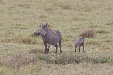 Mother and child warthogs in the field Tanzania,Phacochoerus africanus,warthog,Animalia,Chordata,Mammalia,Cetartiodactyla,Suidae,warthogs,adult,young,two,hyaena,background,hyena,parental care,protection,predator,prey,baby,Warthog,Mammals,C