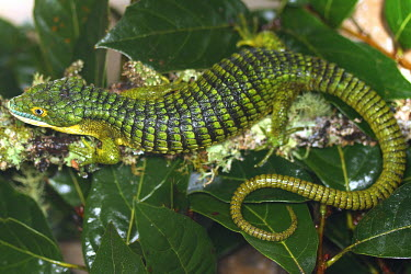 Abronia sitting on leaves endangered,endemic,Mexico,IUCN,IUCN red list,redlist,Abronia,Abronia graminea,reptile,reptiles,scales,scaly,reptilia,lizards and snakes,terrestrial,cold blooded,texture,green,tail,camouflage,camo,patt
