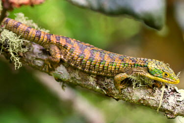 Abronia lying across branch endangered,endemic,Mexico,IUCN,IUCN red list,redlist,Abronia,Abronia graminea,reptile,reptiles,scales,scaly,reptilia,lizards and snakes,terrestrial,cold blooded,texture,green,camouflage,camo,pattern,s