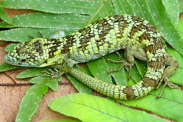 Bromeliad arboreal alligator lizard curled on a leaf Bromeliad arboreal alligator lizard,Abronia,arboreal,alligator lizard,Mexico,reptile,reptiles,scales,scaly,reptilia,lizards and snakes,terrestrial,cold blooded,vulnerable,IUCN,IUCN red list,red list,c