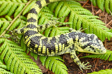 Bromeliad arboreal alligator lizard on fern Bromeliad arboreal alligator lizard,Abronia,arboreal,alligator lizard,Mexico,reptile,reptiles,scales,scaly,reptilia,lizards and snakes,terrestrial,cold blooded,vulnerable,IUCN,IUCN red list,red list,c