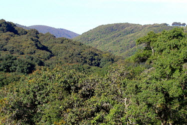 Mexican forest, habitat of the abronia Abronia,Abronia graminea,habitat,home,deforestation,deforest,forest,forests,jungle,Mexico,jungles,tropic,tropics,arboreal,tropical,trees,tree,valley,valleys,landscape,canopy,green,greenery,flora,tree