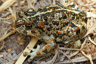 An Amargosa toad camouflaged on the ground Amargosa toad,Anaxyrus nelsoni,endangered,IUCN,IUCN red list,red list,toad,toads,amphibia,frogs and toads,amphibian,amphibians,amphibious,permeable,porous,skin,warts,glands,wart,gland,pigment,close-up