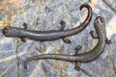 Two Inyo mountain salamanders side by side on stone Inyo,salamander,semi-aquatic,amphibia,amphibian,amphibians,amphibious,freshwater,permeable,porous,skin,pigment,profile,pair,couple,tail,tails,body,silver,grey,stone,rock,legs,feet,foot,torso,abdomen,c