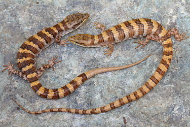 Two Panamint alligator lizards eyeing each other up on a rock vulnerable,red list,IUCN,IUCN red list,rock,stone,confrontation,angry,annoyed,stare off,eyes,tail,tails,close-up,stripe,stripes,California,US,USA,America,alligator lizard,reptile,reptiles,scales,scaly