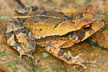 Side profile of a large-crested toad on a leaf Large-crested toad,Incilius cristatus,critically endangered,critical,red list,IUCN red list,IUCN,toad,toads,amphibia,frogs and toads,amphibian,amphibians,amphibious,permeable,porous,skin,warts,glands,