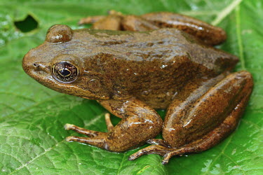 Moore's frog on a leaf endangered,IUCN,IUCN red list,red list,frog,frogs,frogs and toads,semi-aquatic,amphibia,amphibian,amphibians,amphibious,permeable,porous,skin,feet,webbed feet,toes,eyes,eye,brown,leaf,lily pad,wet,pon