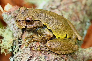 Ixil spikethumb frog sitting on a branch critically endangered,critical,IUCN,IUCN red list,red list,frog,frogs,frogs and toads,semi-aquatic,amphibia,amphibian,amphibians,amphibious,permeable,porous,skin,feet,webbed feet,toes,eyes,eye,brown,w
