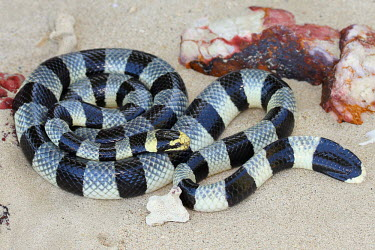 A banded sea krait rests on the beach least concern,amphibious,snake,snakes,sea snake,sea snakes,krait,sea krait,reptile,reptiles,reptilia,lizards and snakes,terrestrial,cold blooded,scales,scaly,smooth,wriggle,curvy,bands,band,banded,bla