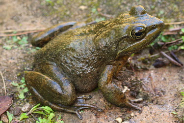 Moore's frog on sandy ground endangered,IUCN,IUCN red list,red list,frog,frogs,frogs and toads,semi-aquatic,amphibia,amphibian,amphibians,amphibious,permeable,porous,skin,feet,webbed feet,toes,eyes,eye,brown,wet,pondlife,legs,sli