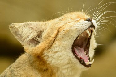 Sand cat yawning feline,cat cats,carnivore,felis,sand cat,carnivora,felidae,small cats,felinae,felis margarita,yawning,yawn,tired,funny,humorous,mouth,teeth,Felis margarita,Captive,Chordates,Chordata,Mammalia,Mammals,