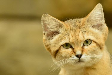 Sand cat close-up feline,cat cats,carnivore,felis,sand cat,carnivora,felidae,small cats,felinae,felis margarita,face,head,close,close-up,close up,eyes,ears,Felis margarita,Captive,Chordates,Chordata,Mammalia,Mammals,Fe