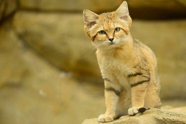Sand cat portrait feline,cat cats,carnivore,felis,sand cat,carnivora,felidae,small cats,felinae,felis margarita,body,paws,legs,full body,Felis margarita,Captive,Chordates,Chordata,Mammalia,Mammals,Felidae,Cats,Carnivor