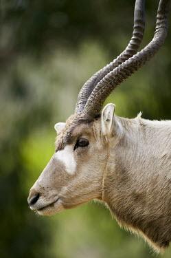 Addax antelope face antelope,antelopes,herbivores,herbivore,vertebrate,mammal,mammals,terrestrial,nomad,nomadic,park,national park,ungulate,indigenous,horns,horn,Africa,African,profile,head shot,shallow focus face,savann