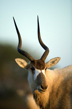 Addax antelope face antelope,antelopes,herbivores,herbivore,vertebrate,mammal,mammals,terrestrial,nomad,nomadic,park,national park,ungulate,indigenous,horns,horn,Africa,African,profile,head shot,shallow focus face,blue s