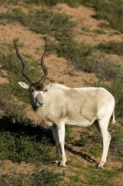 Addax antelope in scrubland, portrait antelope,antelopes,herbivores,herbivore,vertebrate,mammal,mammals,terrestrial,nomad,nomadic,park,national park,ungulate,indigenous,horns,horn,Africa,African,savanna,savannah,desert,Addax,Addax nasomac