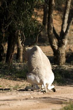 Addax antelope discharging bowels antelope,antelopes,herbivores,herbivore,vertebrate,mammal,mammals,terrestrial,nomad,nomadic,park,national park,ungulate,indigenous,horns,horn,Africa,African,savanna,savannah,desert,poo,pooing,excremen