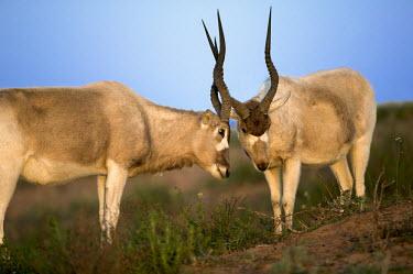 Two Addax antelope greeting antelope,antelopes,herbivores,herbivore,vertebrate,mammal,mammals,terrestrial,nomad,nomadic,park,national park,ungulate,indigenous,horns,horn,Africa,African,savanna,savannah,desert,body,scrub,scrublan