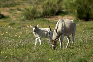 Mother Addax antelope and calf antelope,antelopes,herbivores,herbivore,vertebrate,mammal,mammals,terrestrial,nomad,nomadic,park,national park,ungulate,indigenous,horns,horn,Africa,African,savanna,savannah,desert,calf,mother,mother