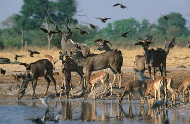 Kudu, impala, cape turtle dove and sandgrouse drinking at Savuti waterhole kudu,herbivores,herbivore,vertebrate,mammal,mammals,terrestrial,waterhole,watering hole,drink,drinking,Africa,African national park,park,savanna,savannah,scene,wildlife,gathering,animal,animal herd,gr