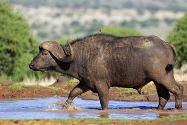 Cape buffalo walking through water hole herbivores,herbivore,vertebrate,mammal,mammals,terrestrial,Africa,African,nomad,nomadic,park,national park,ungulate,landscape,savanna,savannah,safari,buffalo,cattle,mass,herd,migration,migrate,aerial,