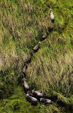 Aerial view of Cape buffalo walking through long grass herbivores,herbivore,vertebrate,mammal,mammals,terrestrial,Africa,African,nomad,nomadic,park,national park,ungulate,landscape,savanna,savannah,safari,buffalo,cattle,mass,herd,migration,migrate,Cape bu