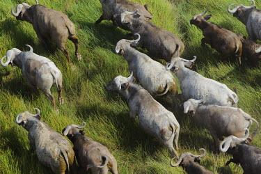 Aerial view of Cape buffalo migrating across grassland herbivores,herbivore,vertebrate,mammal,mammals,terrestrial,Africa,African,nomad,nomadic,park,national park,ungulate,landscape,savanna,savannah,safari,buffalo,cattle,mass,herd,migration,migrate,Cape bu