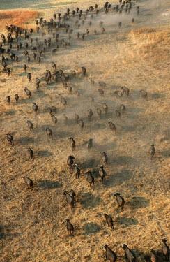 Aerial view of buffalo herd herbivores,herbivore,vertebrate,mammal,mammals,terrestrial,Africa,African,nomad,nomadic,park,national park,ungulate,horn,horns,profile,savanna,savannah,safari,buffalo,cattle,gather,gathering,migration