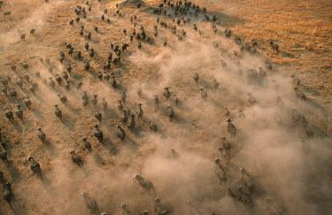 Aerial view of buffalo herd. herbivores,herbivore,vertebrate,mammal,mammals,terrestrial,Africa,African,nomad,nomadic,park,national park,ungulate,horn,horns,profile,savanna,savannah,safari,buffalo,cattle,gather,gathering,migration
