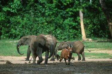 Bongo being chased by a baby elephant herbivores,herbivore,vertebrate,mammal,mammals,terrestrial,ungulate,horn,horns,Africa,safari,chase,chasing,run,running,territorial,elephant,calf,mud,forest,muddy,jungle,co-exist,co-existing,Bongo,Trag