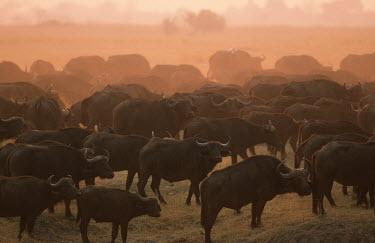 Part of a large herd of 2000 buffalo on the Chobe River floodplain. herbivores,herbivore,vertebrate,mammal,mammals,terrestrial,Africa,African,nomad,nomadic,park,national park,ungulate,horn,horns,profile,savanna,savannah,safari,buffalo,cattle,herd,sunset,dusk,gather,ga