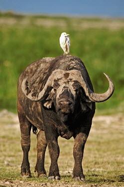 Cape buffalo bull with cattle egret herbivores,herbivore,vertebrate,mammal,mammals,terrestrial,nomad,nomadic,park,national park,ungulate,horn,horns,Africa,profile,savanna,savannah,safari,buffalo,cattle,egret,bird,bird birdlife,passenger