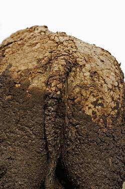 Close up of dried mud on buffalo skin herbivores,herbivore,vertebrate,mammal,mammals,terrestrial,nomad,nomadic,park,national park,ungulate,horn,horns,Africa,profile,savanna,savannah,safari,buffalo,cattle,mud,muddy,bath,dirt,dirty,bum,rear