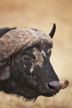 Cape buffalo bull with oxpecker herbivores,herbivore,vertebrate,mammal,mammals,terrestrial,Africa,African,nomad,nomadic,park,national park,ungulate,horn,hornface,profile,savanna,savannah,safari,buffalo,cattle,oxpecker,bird,bird bird