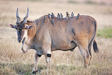 Eland covered in oxpeckers oryx,Tragelaphus oryx pattersonianu,East African eland,herbivore,herbivores,vertebrate,mammal,mammals,terrestrial,Africa,African,savanna,savannah,safari,antelope,antelopes,prey,oxpecker,bird,bird bird